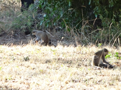 Monkeys near Mkomazi national park admistration block